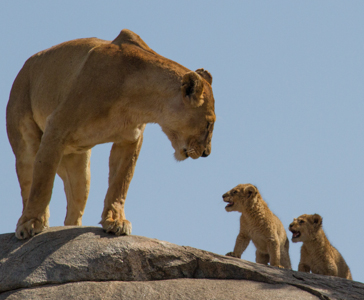 Lioness with cubs. African Safari 2012- Tanzania, Photograph by Stephen Powell wildlife Artist and Photographer