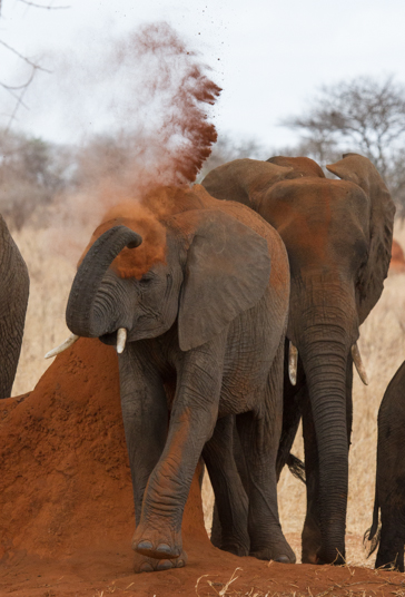 Elephant and red dustAfrican Safari 2012- Tanzania, Photograph by Stephen Powell wildlife Artist and Photographer