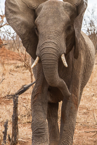 Unhapy elephant!. African Safari 2012- Tanzania, Photograph by Stephen Powell wildlife Artist and Photographer