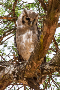 Verreaux's Eagle-Owl. African Safari 2012- Tanzania, Photograph by Stephen Powell wildlife Artist and Photographer