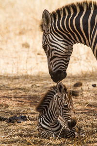 Young Zebra and mum. African Safari 2012- Tanzania, Photograph by Stephen Powell wildlife Artist and Photographer