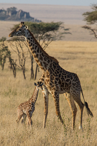 Giraffe and baby photograph. African Safari 2012- Tanzania, Photograph by Stephen Powell wildlife Artist and Photographer
