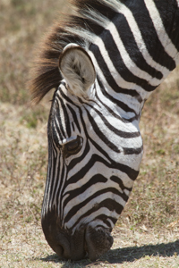 Zebra head. Photograph by Stephen Powell wildlife Artist and Photographer