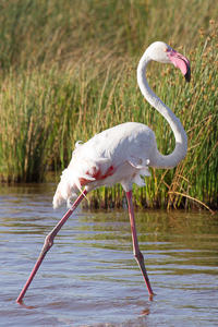 Greater Flamingo. African Safari 2012- Tanzania, Photograph by Stephen Powell wildlife Artist and Photographer