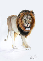Male Lion Watercolour painting By Stephen Powell