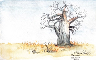 Baobab field sketche - Manyara Tanzania Pen and watercolour wash by Stephen Powell Wildlife Artist