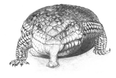 Drawing by Stephen Powell Blue Toung Lizard