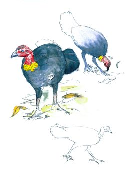 Brush-turkey   sketch by Stephen Powell wildlife artist