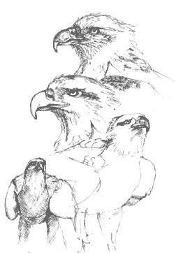 White bellied Sea Eagle   sketch by Stephen Powell wildlife artist