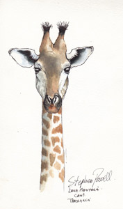 Giraffe - Lake Manyara Tanzania Pen and watercolour wash by Stephen Powell Wildlife Artist