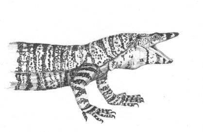 Lace monitor pencil drawing by Stephen Powell Wildlife Artist
