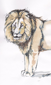 Lion sketch by Stephen Powell wildlife artist