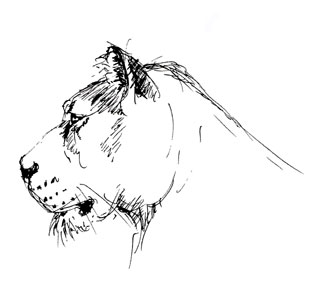 Lion Field Sketches by Stephen Powell