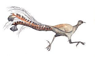 Lyrebird Pen and watercolour sketch by Stephen Powell Wildlife Artist