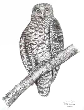 Powerful Owl  sketch by Stephen Powell wildlife artist