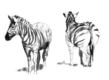 Zebra   sketch by Stephen Powell wildlife artist