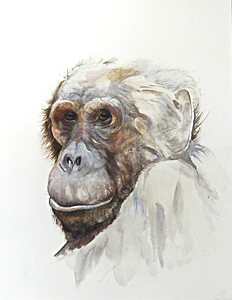 Chimp by Mrs Beverley Gardiner. Workshop participant of Stephen Powell Wildlife Artist at Grafton Artsfest