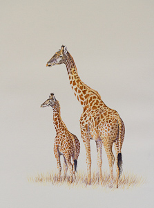 Giraffe - Water colour painting by Stephen Powell Reference gathered Akagera National Park Rwanda
