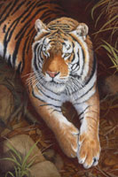 Bengal Tiger Oil painting By Stephen Powell