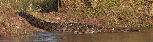 Photo by Stephen Powell Wildlife Artist Photographer Crocodile