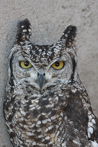 Photo by Stephen Powell Wildlife Artist Photographer Spotted Eagle-Owl