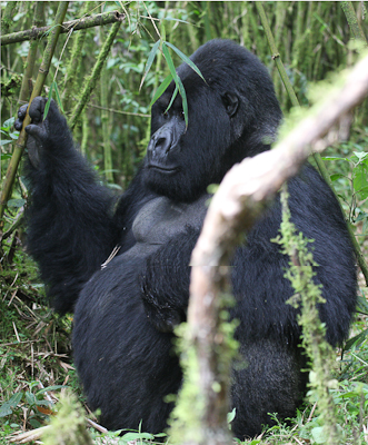 Photo by Stephen Powell Wildlife Artist Photographer Silver back Gorilla Rwanda