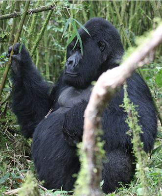 Photo by Stephen Powell Wildlife Artist Photographer Silver back Gorilla Rwanda