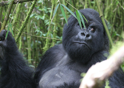 Photo by Stephen Powell Wildlife Artist Photographer Biggest silverback gorilla in Rwanda