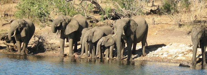 Photo by Stephen Powell Wildlife Artist Photographer Elephants prepare to swim the Chobe river