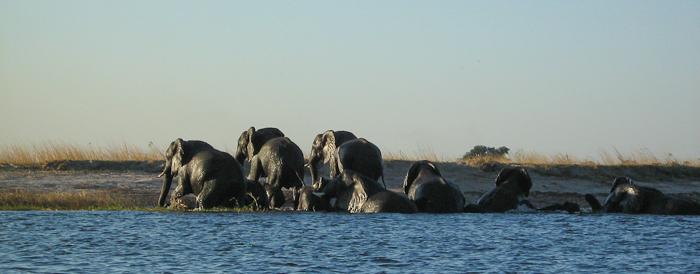 Photo by Stephen Powell Wildlife Artist Photographer Elephants Swim the Chobe river.. Elephants Swim the Chobe river.
