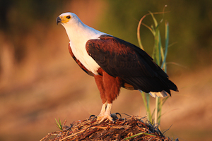 Photo by Stephen Powell Wildlife Artist Photographer African Fish Eagle