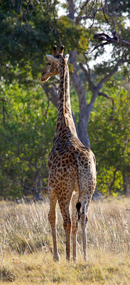 Photo by Stephen Powell Wildlife Artist Photographer Giraffe