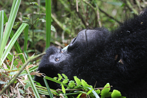 Photo by Stephen Powell Wildlife Artist Photographer Gorilla Resting