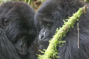 Photo by Stephen Powell Wildlife Artist Photographer Gorillas love to cuddle