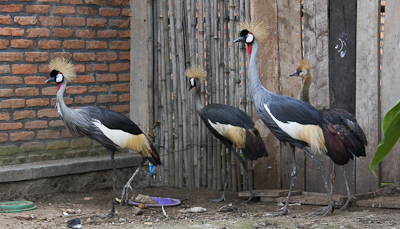 Photo by Stephen Powell Wildlife Artist Photographer Grey Crowned Crane