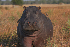 Photo by Stephen Powell Wildlife Artist Photographer Hippo and Red- billed oxpeckers