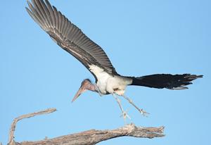 Photo by Stephen Powell Wildlife Artist Photographer Marabou Stork
