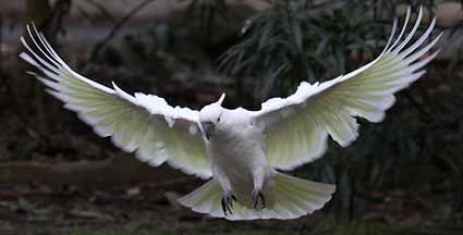 Sulphur-crested Cockatoo photo by Stephen Powell