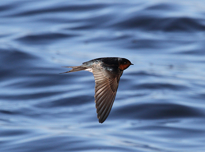 Welcome Swallow Photo by Stephen Powell