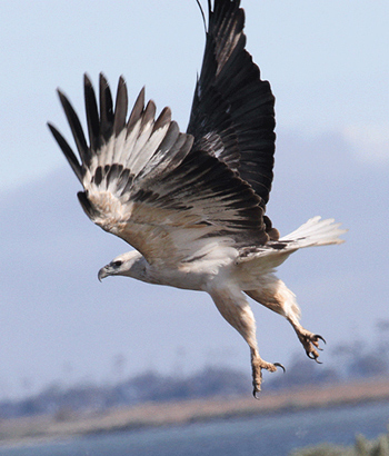 White-bellied Sea-Eagle Photo by Stephen Powell