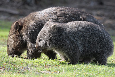 Wombats Photo by Stephen Powell