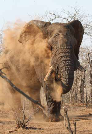 Elephant dust bath Photo by Stephen Powell Wildlife Artist - Photographer