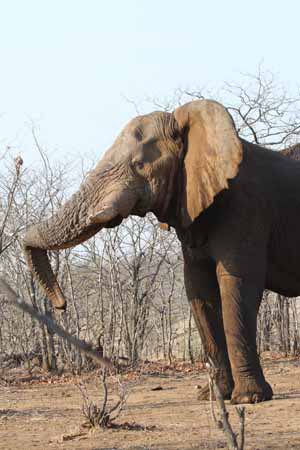 Elephant resting trunk Photo by Stephen Powell Wildlife Artist - Photographer