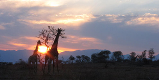 Giraffes in sunset. Steve Morvell & Stephen Powell Artist Guided African Safari 2012