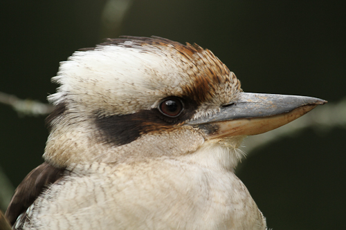 Laughing Kookaburra photograph by Stephen Powell Wildlife Artist