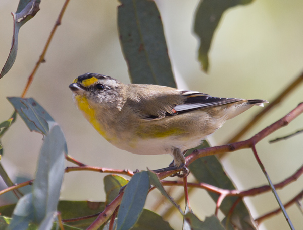 Striated Pardalote. Stephen Powell Wildlife Artist - photo taken Mungo National Park NSW Australia.