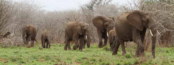 Elephants Stephen Powell & Steve Morvell Artist Photographer Guided African Safari 2013