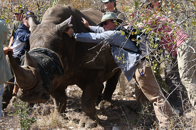 Photo by Stephen Powell Wildlife Artist Photographer Rhinoseros