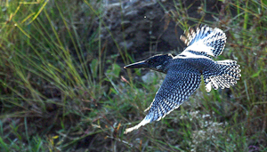 Photo by Stephen Powell Wildlife Artist Photographer Giant Kingfisher