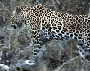 Photo by Stephen Powell Wildlife Artist Photographer - leopard